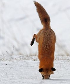 A fox diving into a field mouse hole.