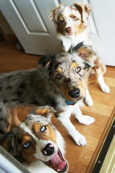 miniature australian shepherd. blue merle. red merle Dog Puppy Dogs Puppies aussie