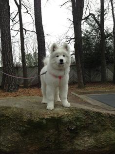 Meet Sadie the Samoyed