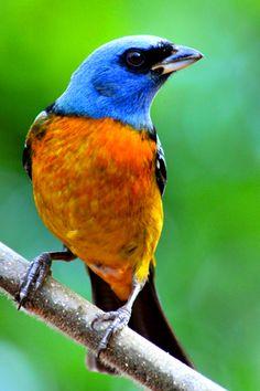 Sanhaço-papa-laranja (Brasil)