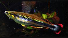 Bedotia Tropical Aquarium, Aquarium Fish, Rainbow Fish, Water Life, Beautiful Fish, Freshwater Aquarium, Nook, Salt, Lovers