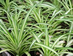 6 Stylish Houseplants That Are Safe For Cats And Dogs Long striped spider plant leaves 6 Stylish Hou Houseplants Safe For Cats, Cat Safe Plants, Potted Plants, Indoor Plants, What Cats Can Eat, Chlorophytum, Natural Bath Bombs, Grands Pots, Comment Planter