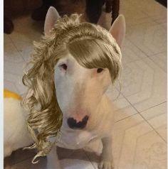 Pretty Bull Terrier