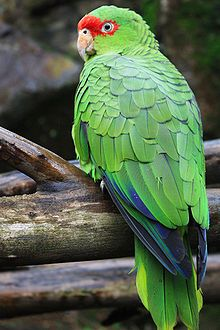 The Red-spectacled Amazon (Amazona pretrei) is a species of parrot in the Psittacidae family. It is found in Argentina, Brazil, and Paraguay.  Its natural habitats are subtropical or tropical dry forests, subtropical or tropical moist lowland forests, subtropical or tropical moist montane forests, dry savanna, and plantations. It is threatened by habitat loss.