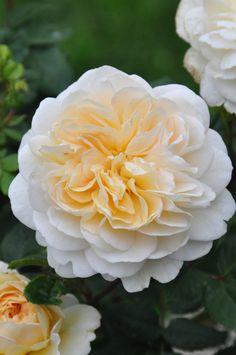 Crocus Rose | Austin rose | By: mimmis_garden | Flickr - Photo Sharing!