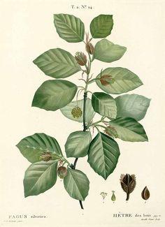 250245 Fagus sylvatica L. / Duhamel du Monceau, H.L., Traité des arbres et arbustes, Nouvelle édition [Nouveau Duhamel], vol. 2: t. 24 (1804) [P.J. Redouté]