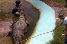 Exceptionally Large Animals That Really Do Exist! Lolong, a 21 foot Indo-Pacific or Saltwater crocodile, is the largest crocodile that has ever been caught. Lolong did not survive in captivity and died on February 10, 2013.