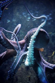Ocean Sea: Amazing shades of blue and purple found in the as in this octopus. Underwater Creatures, Underwater Life, Ocean Creatures, Underwater Animals, Vida Animal, Mundo Animal, Beautiful Creatures, Animals Beautiful, Fauna Marina