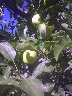 VISITING THE ORCHARD DURING AUTUMN'S APPLE FESTIVAL  -----  Apple Festival Orchard Tree | Learning By Kids | LearningByKids.com