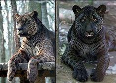 Rare cross between a lion and jaguar. Called a liguar - Album on Imgur