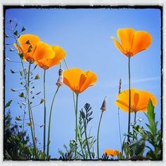 Streamzoo photo - Beautiful perspective on California's state flower!  ~by Forrest73