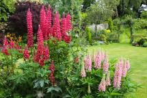 Top 10 Flowers to Attract Hummingbirds: Lupine