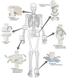 5 Types Of Joints In The Human Body
