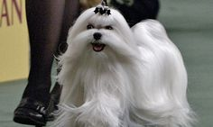 That's a Maltese with show biz in his blood!