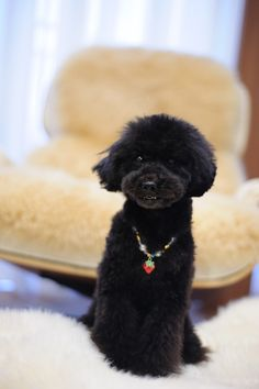 ♥ lovely #haircut #blackpoodle #bluepoodle #toypoodle #loungechair