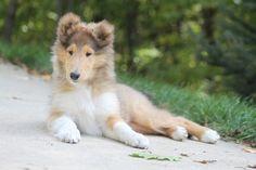 Michigan Collie Puppies @ Taliesen >> We are a Rough Collie ...
