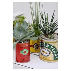 Succulent plants in tins