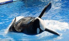 Seaworld Orlando Orcas! The largest orca Seaworld has, this is Tilikum! He was estimated to be 36 years old.  Older than some males in his original Pod. He was one of the easiest orcas to identify at SeaWorld Orlando, and was normally with Trua. He passed away January 6th. R.I.P