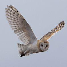 Source: Flickr / rjsaxton  #barn owl