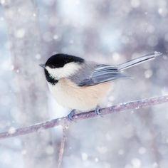 Chickadee in Snow No. 12 - fine art bird photography print by Allison Trentelman