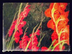 Raccontare un paese: i miei fiori: gladioli