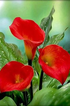 "✯ Red Calla Lilies - ""The Calla Lillies are in bloom again. Exotic Flowers, Amazing Flowers, My Flower, Beautiful Flowers, Beautiful Gorgeous, House Beautiful, Lilly Plants, Bloom, Calla Lily"