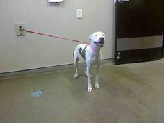 *TOFFEE - ID#A730766  Shelter staff named me TOFFEE.  I am a female, white and brown Pit Bull Terrier.  The shelter staff think I am about 7 months old.  I have been at the shelter since Jul 30, 2013.
