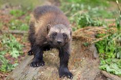 Wolverine (Gulo gulo). Germany. Photo by Thomas Frejek (at https://www.flickr.com/photos/thomasfrejek/7234646778/).