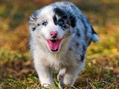 Australian Shepherd Puppies - 32 Pictures