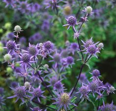 Flower of the Day: Sea Holly