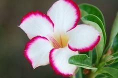 Graines Adenium obesum, Rose du désert