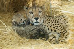 one month old cheetah cub and mom, triplets born on Apri 16, 2014, at the Zoo Vienna
