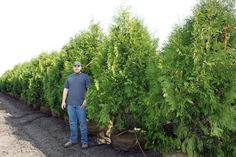 Techny Arborvitae. full sun to partial shade. They will grow to a mature height of fifteen to twenty feet and a mature spread of four to six feet.