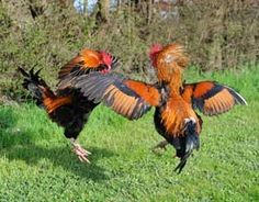 Aggressive roosters are a nuisance and can be dangerous if they attack small children. Three simple methods can stop most aggressive behavior so that you can enjoy your entire flock of chickens, even the roosters.