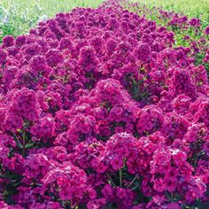 """Raving Beauty Phlox Light: Full Sun to Partial Shade Bloom Time: MidSummer to Early Fall Size: #1 plants Zones: 3 to 9 Height: 30-32"""""""