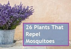 Mosquito Repellent Plants for screened in porch and back deck