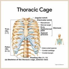 = 14 Thoracic Cage-Skeletal System Anatomy and Physiology for Nurses 11 x 3 = 33 = 17 combinations Muscle Anatomy, Body Anatomy, Heart Anatomy, Human Skeleton Anatomy, Anatomy Bones, Rib Cage Anatomy, Nursing School Notes, Medical School, Medical Anatomy