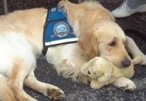 Comfort dog gets his own comfort David Utter, Dog Trainer, Service & Therapy Dogs  1-888-959-7463  www.davidutter.com