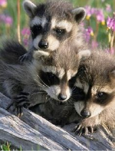 Racoon (Procyon lator) young in a field of Shooting Star flowers in Montanta Found on raindropsonroses-65.tumblr.com
