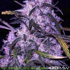I love you you love me we love to see these purple trees - @official420raw / 420raw.com