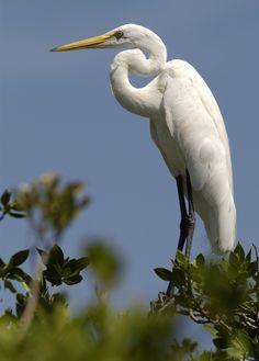 white heron (Hilary)