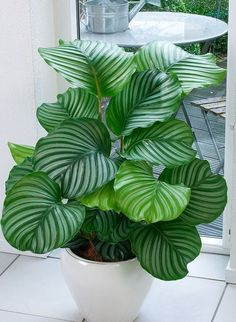 Calathea - Patterned leaves make this plant a great decoration for any room, but you should remember that it does poorly in direct sunlight. Calathea likes darkened space. Plantas Indoor, Calathea Orbifolia, Inside Plants, Plants For Home, Indoor House Plants, Indoor Shade Plants, Indoor Office Plants, Indoor Ferns, Easy House Plants