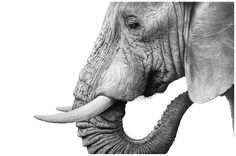 Welcome to the fine art gallery and online shop of Richard Symonds where you can buy limited edition prints of elephants, tigers, lions and other wildlife art. Pencil Drawings Of Animals, Animal Sketches, Drawings Of Elephants, Wildlife Paintings, Wildlife Art, Africa Art, Elephant Art, Amazing Drawings, Amazing Art