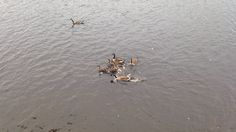 Canadian geese - lake Horace