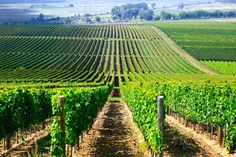 The wrinkled slopes that unite the 27 Hungarian villages entitled to the Tokaji designation were the first vineyards in the world to be classified. - See more at: http://travelcuriousoften.com/october13-curious-thirsty.php#sthash.23VxCzvI.dpuf