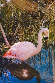 The Area Around Lake Titicaca in Peru and Bolivia - Travelhackers Lake Titicaca Peru, Bolivia, New Pictures, Flamingo, Islands, Beautiful, Flamenco, Flamingos, Greater Flamingo