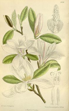 Magnolia kobus | Kobushi magnolia | Japansk magnolie Hjemmehørende i Japan; op til 25 M høj. Plantet som prydtræ i Europa, også stadigt flere steder i Danmark, hvor den er fuldt hårdfør. Hos større eksemplarer er kronen en sky af hvidt ved blomstringen før løvspring; den enkelte blomst ca. 10 cm i tværmål. Frugten er 5 cm lang og lyserød med røde frø, der kan hænge i lange slimtråde ved modning.