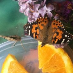 Caring for painted lady butterflies is a joy!
