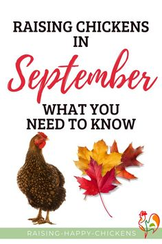 Raising chickens in September. Days are getting shorter. Temperatures are still warm, but there's a definite feel of autumn in the air. It's important to remember to keep your chickens cool and hydrated during the warmer days, but also be thinking ahead to how they'll get through winter. Here are 20 must-do tasks for raising chickens in the autumn months. #raisinghappychickens #chickensautumn