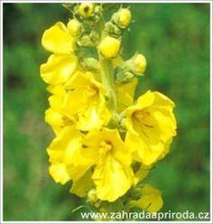 Žluté kvety divizny jsou skvělé na léčbu kašle a další onemocnění.